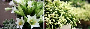 Những con số may mắn khi mơ thấy hoa loa kèn