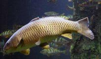 Mơ thấy cá chép có ý nghĩa gì, đánh con đề nào dễ trúng?